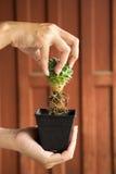 Kaktuswurzel mit hölzernem Hintergrund Stockbild
