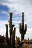 kaktusy łowią wyspy gigantycznego uyuni Obrazy Stock