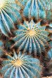 Kaktusy Obrazy Royalty Free