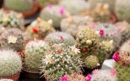 Kaktusy Zdjęcia Royalty Free