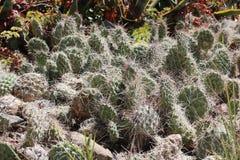 kaktusy Fotografia Royalty Free