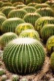 kaktusy Zdjęcie Stock