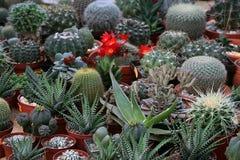 kaktusy Obrazy Stock