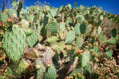 kaktusy California Zdjęcie Stock