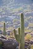 kaktusy dezerterują saguaro Zdjęcia Stock