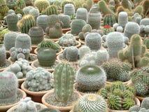 kaktusy galore Fotografia Royalty Free