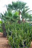 Kaktusy i palma Fotografia Royalty Free