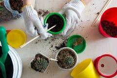 Kaktusy, kolorowi garnki, gloved ręk odgórny widok Obraz Stock