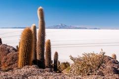 Kaktusy na Isla inka Huasi w Salar De Uyuni Obrazy Royalty Free
