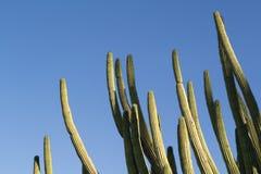 Kaktusy na słonecznym dniu Fotografia Stock