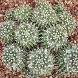 Kaktusy przy cucculent rośliien szklarnianym odgórnym widokiem Zdjęcie Royalty Free