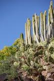 Kaktusy w Tenerife Fotografia Royalty Free