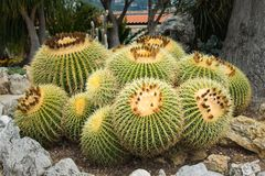 Kaktusy r w egzota ogródzie Kaktusowy ogród w Monte C Fotografia Royalty Free
