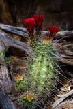 Kaktusy w kwiacie Zdjęcia Royalty Free