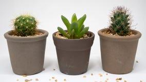 Kaktusy wewnątrz abreast Zdjęcie Royalty Free