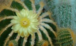 Kaktusy z żółtym kwiatem Odgórny widok Zdjęcia Stock