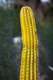 kaktusyellow Arkivbild