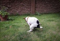 Kaku pies zdjęcie royalty free