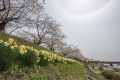 Kakunodate, Akita, Tohoku, Giappone aprile 27,2018: Alone completamente fiorito dei fiori e del sole di ciliegia nel cielo al fiu fotografia stock