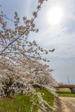 Kakunodate, Akita, Tohoku, Giappone aprile 27,2018: Alone completamente fiorito dei fiori e del sole di ciliegia nel cielo al fiu immagine stock libera da diritti