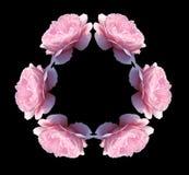 Kaléidoscope rose d'isolement de fleurs de rose Image libre de droits