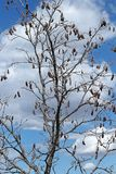 Kal krona av det lövfällande trädet med himmel och moln som en bakgrund arkivbild