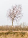 Kal silverbjörk (Betula Pendula) Arkivbilder