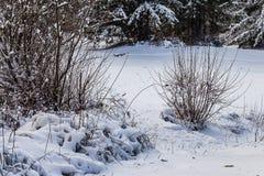 Kala filialer av en buske i vinter fotografering för bildbyråer