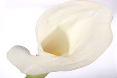 Kala Lilly Stock Photos