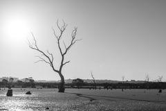 Kala träd i ett träsk med långa skuggor i svartvitt Arkivfoton