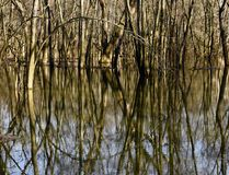 Kala träd reflekteras i en våtmark i västra Pennsylvanai Royaltyfria Foton