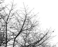 Kala trädfilialer på en vit himmel Royaltyfri Fotografi
