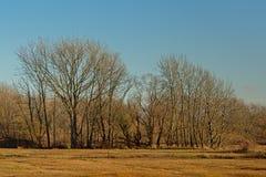Kala vinteralmträd i ett soligt träsklandskap med ängar med den torkade guld- gras och vassen royaltyfria foton