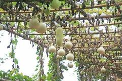 Kalabasy grupowy obwieszenie w organicznie gospodarstwie rolnym zdjęcie stock