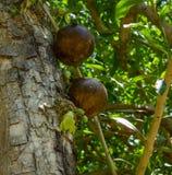 Kalabasy owoc na drzewie zdjęcia royalty free