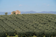 Kalabrische Olivenbaumplantage stockbild