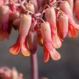 Kalachoe florece la naranja 2 Imagen de archivo libre de regalías