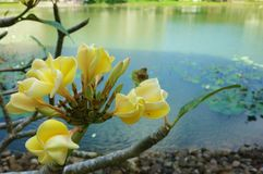 Kalachuchi flower Royalty Free Stock Photography