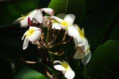 Kalachuchi tree flowers. White kalachuchi tree flowers lit by ray of sun Stock Image
