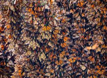 Kalaeidoscope of Monarch Butterflies, Danaus plexippus, Gathered on Oyamel Tree stock images
