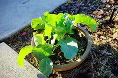 Kalafiorowa roślina Zdjęcia Royalty Free