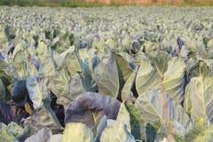Kalafiorowa uprawa Zdjęcia Stock