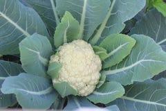 Kalafiorowy Świeżego warzywa wizerunek zdjęcie royalty free
