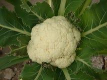 Kalafiorowy warzywo zdjęcia stock
