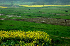 Kalafiory zbliżają wiosnę Zdjęcie Royalty Free