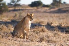 Kalahari雌狮 免版税库存图片