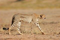 非洲猎豹沙漠南的kalahari 免版税库存照片