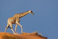离开沙丘长颈鹿kalahari沙子 库存图片