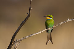 Kalahari bee-eater Stock Photos