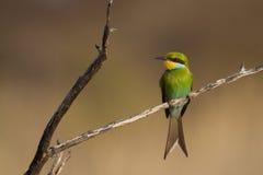 Kalahari bee-eater stock photos